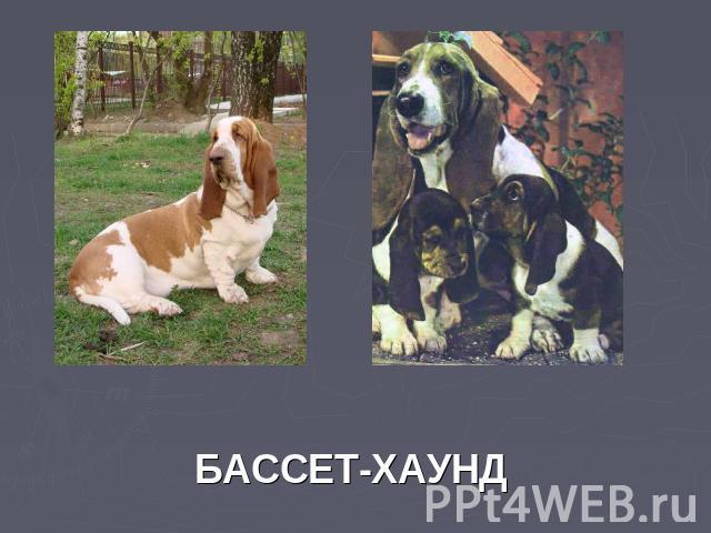БАССЕТ-ХАУНД