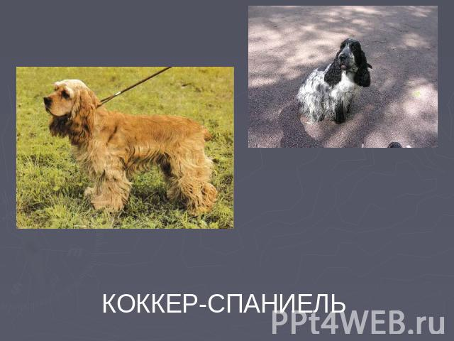 КОККЕР-СПАНИЕЛЬ