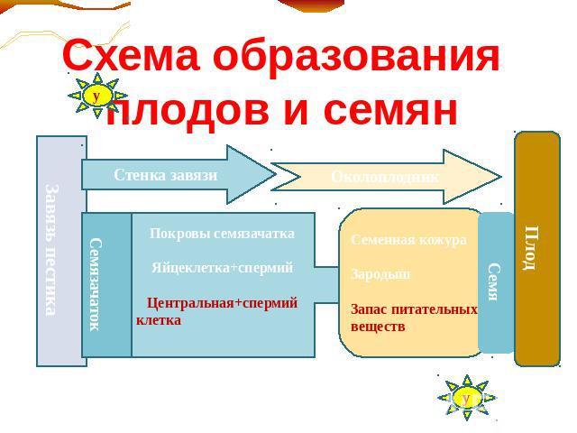 Схема образования плодов и