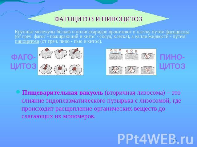 Пиноцитоз фото