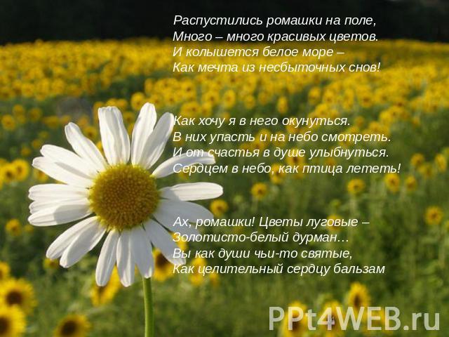Распустились ромашки на поле,Много – много красивых цветов.И колышется белое море –Как мечта из несбыточных снов!Как хочу я в него окунуться.В них упасть и на небо смотреть.И от счастья в душе улыбнуться.Сердцем в небо, как птица лететь!Ах, ромашки!…