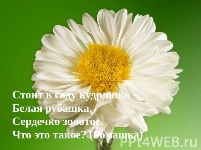 Стоит в саду кудряшка – Белая рубашка, Сердечко золотое. Что это такое? (Ромашка)