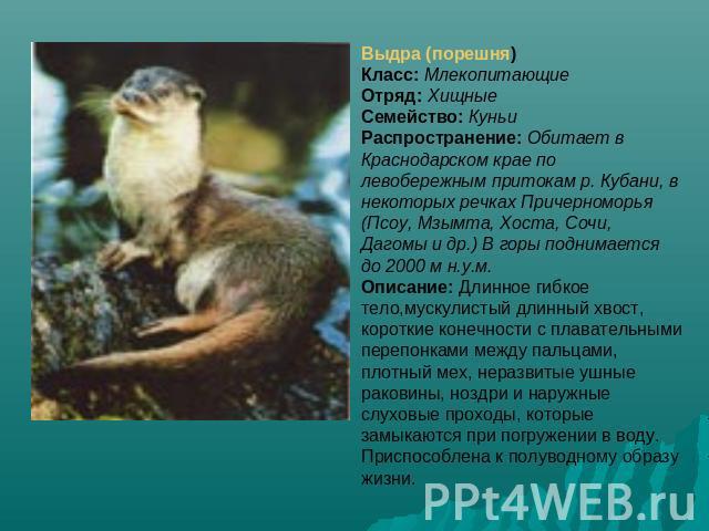 Животные Краснодарского края презентация к уроку Географии Выдра порешня Класс МлекопитающиеОтряд ХищныеСемейство КуньиРаспространение Обитает в Краснодарском крае