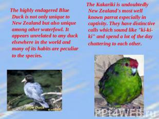 The highly endagered Blue Duck is not only unique to New Zealand but also unique