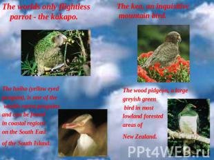 The worlds only flightless parrot - the kakapo. .  The hoiho (yellow eyed pengui