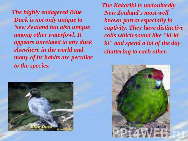 The highly endagered Blue Duck is not only unique to New Zealand but also unique among other waterfowl. It appears unrelated to any duck elsewhere in the world and many of its habits are peculiar to the species. The Kakariki is undoubtedly New Zeala…
