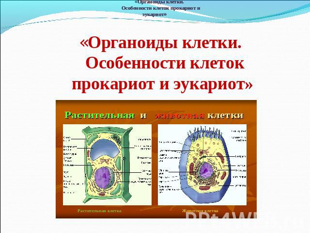 расположена органоид который отвечает за автотрофное питание должно