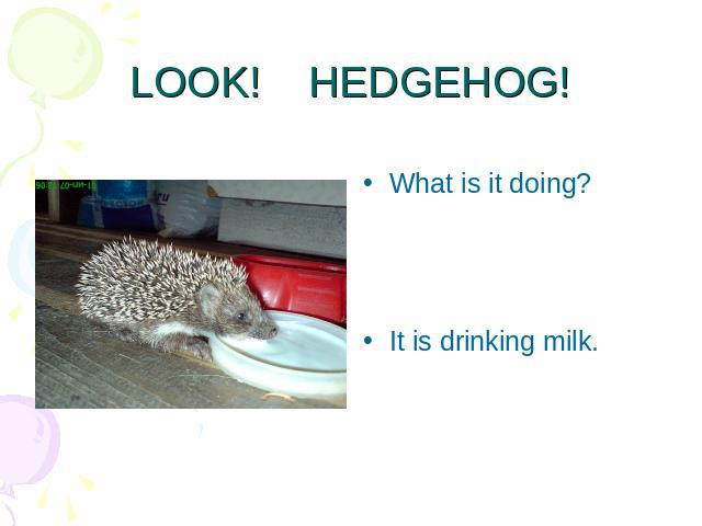 LOOK! HEDGEHOG! What is it doing?It is drinking milk.