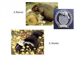 A BeaverA Skunks