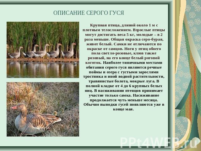 Класс описание 4 гуся утки гдз сравнительное и