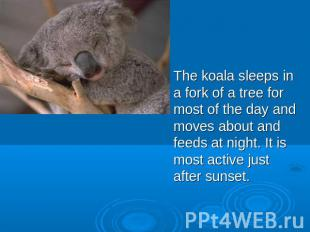 The koala sleeps in a fork of a tree for most of the day and moves about and fee
