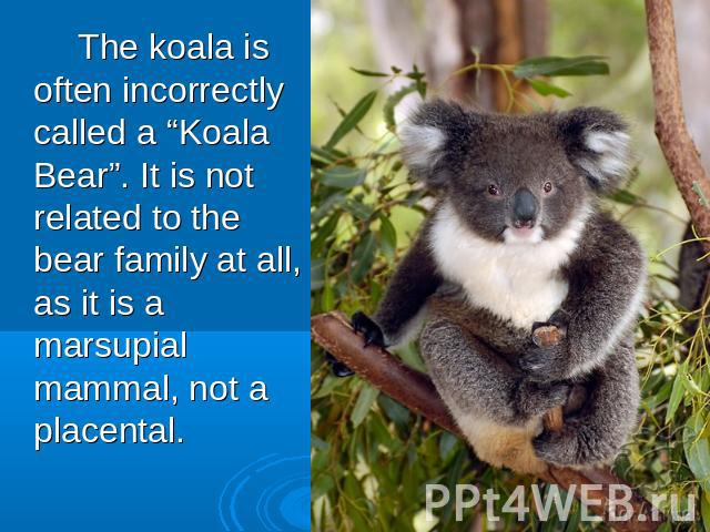 "The koala is often incorrectly called a ""Koala Bear"". It is not related to the bear family at all, as it is a marsupial mammal, not a placental."