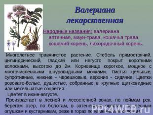 Презентация на тему Лекарственные растения Ставропольского края  слайда 2 Валериана лекарственная Народные названия валериана аптечная маун трава кошач
