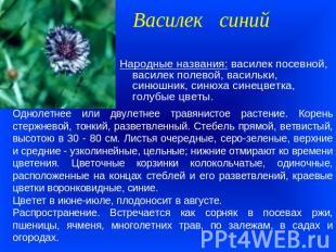 Презентация на тему Лекарственные растения Ставропольского края  слайда 3 Василек синий Однолетнее или двулетнее травянистое растение Корень стержневой
