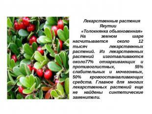 Презентация на тему Лекарственные растения Якутии скачать бесплатно слайда 3 Лекарственные растения Якутии Толокнянка обыкновенная На земном шаре насчитывает