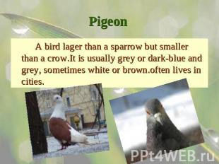 Pigeon A bird lager than a sparrow but smaller than a crow.It is usually grey or