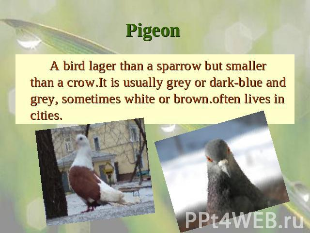 Pigeon A bird lager than a sparrow but smaller than a crow.It is usually grey or dark-blue and grey, sometimes white or brown.often lives in cities.
