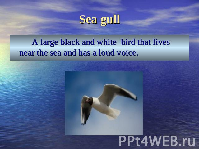 Sea gull A large black and white bird that lives near the sea and has a loud voice.