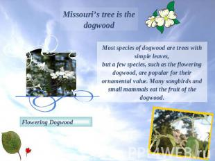 Missouri's tree is the dogwoodMost species of dogwood are trees with simple leav