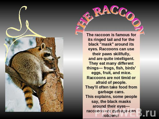 THE RACCOONThe raccoon is famous for its ringed tail and for the black