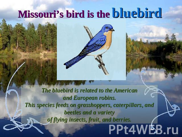 Missouri's bird is the bluebirdThe bluebird is related to the Americanand European robins.This species feeds on grasshoppers, caterpillars, and beetles and a varietyof flying insects, fruit, and berries.