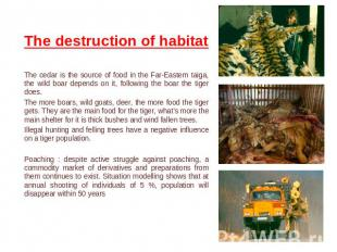 The destruction of habitat The cedar is the source of food in the Far-Eastern ta