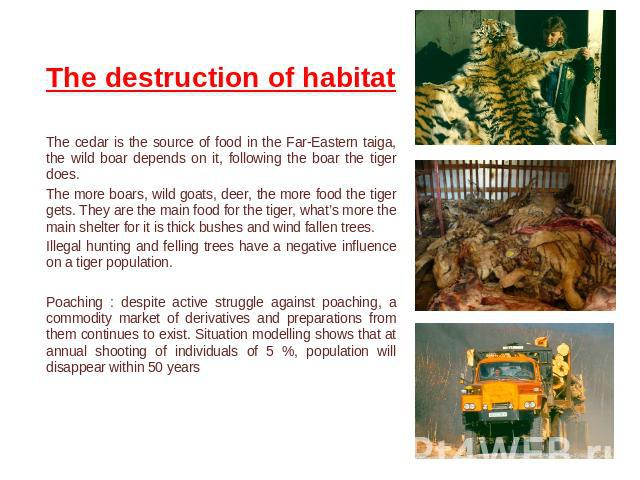The destruction of habitat The cedar is the source of food in the Far-Eastern taiga, the wild boar depends on it, following the boar the tiger does.The more boars, wild goats, deer, the more food the tiger gets. They are the main food for the tiger,…