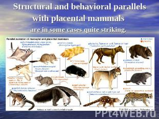 Structural and behavioral parallels with placental mammals are in some cases qui