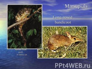 MarsupialsSpotted-tailed quoll, or native cat