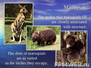 Marsupials The niches that marsupials fill are closely associated with structure