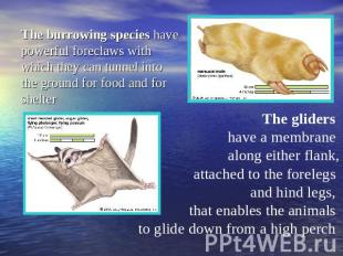 The burrowing species have powerful foreclaws with which they can tunnel into th