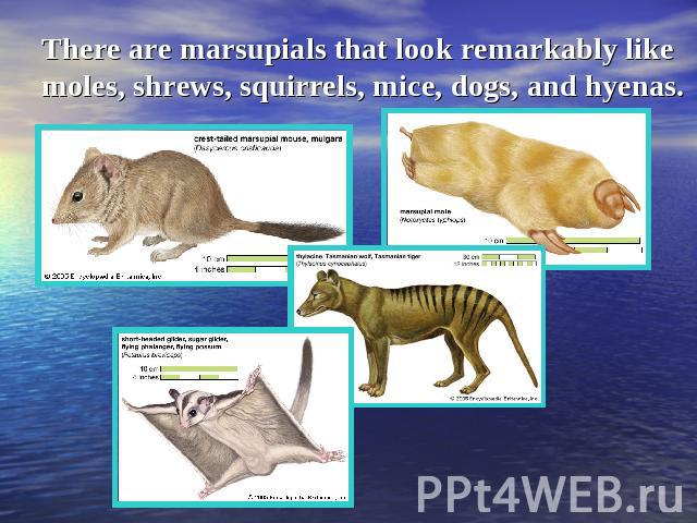 There are marsupials that look remarkably like moles, shrews, squirrels, mice, dogs, and hyenas.
