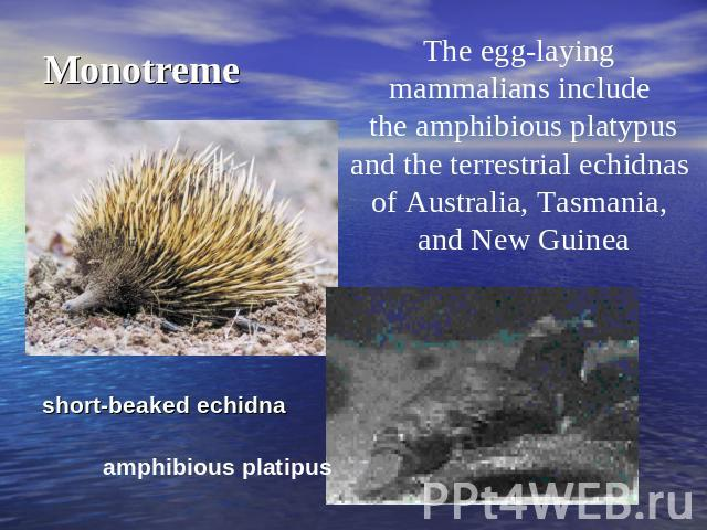 Monotreme The egg-laying mammalians include the amphibious platypusand the terrestrial echidnas of Australia, Tasmania, and New Guinea short-beaked echidna