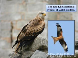 The Red Kite a national symbol of Welsh wildlife.
