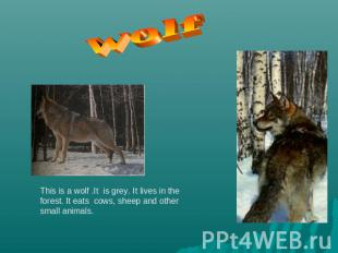 wolf This is a wolf .It is grey. It lives in the forest. It eats cows, sheep and