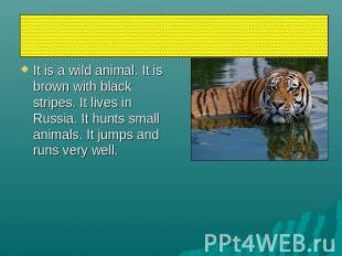 tiger It is a wild animal. It is brown with black stripes. It lives in Russia. I