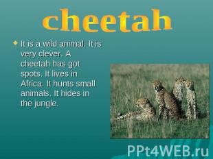 cheetah It is a wild animal. It is very clever. A cheetah has got spots. It live