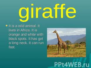 giraffe It is a wild animal. It lives in Africa. It is orange and white with bla