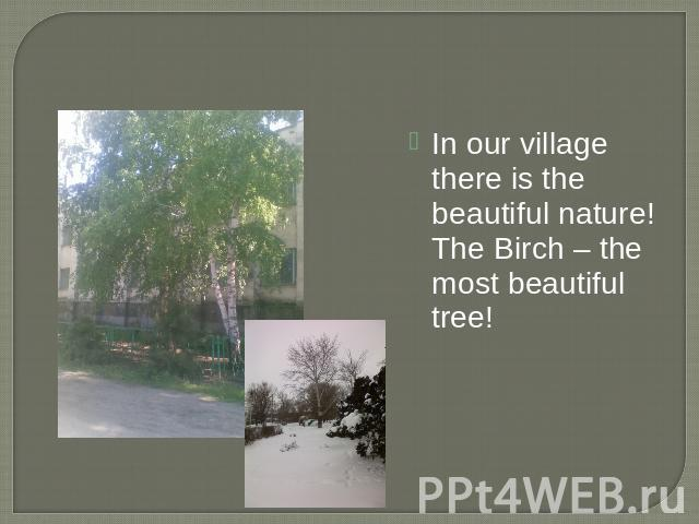 In our village there is the beautiful nature! The Birch – the most beautiful tree!