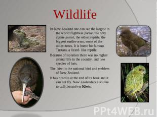 Wildlife In New Zealand one can see the largest in the world flightless parrot,