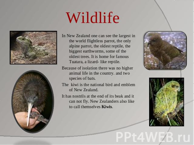 Wildlife In New Zealand one can see the largest in the world flightless parrot, the only alpine parrot, the oldest reptile, the biggest earthworms, some of the oldest trees. It is home for famous Tuatara, a lizard- like reptile. Because of isolation…