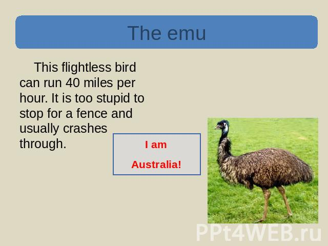 The emu This flightless bird can run 40 miles per hour. It is too stupid to stop for a fence and usually crashes through. I amAustralia!