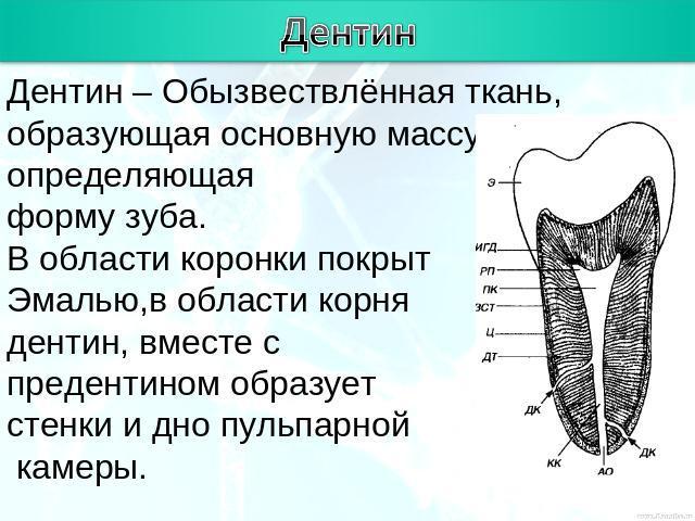 строение тканей зуба гистология встречаются случаи