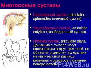 articulatio cotylica)