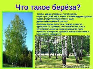 береза дерево описание и фото