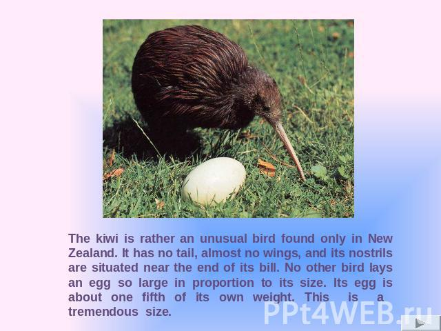 The kiwi is rather an unusual bird found only in New Zealand. It has no tail, almost no wings, and its nostrils are situated near the end of its bill. No other bird lays an egg so large in proportion to its size. Its egg is about one fifth of its ow…