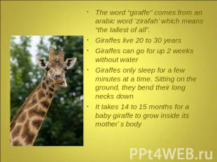 "The word ""giraffe"" comes from an arabic word 'zirafah' which means ""the tallest"