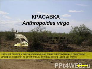 КРАСАВКА Anthropoides virgo Населяет плоские и слегка всхолмленные степи и полуп