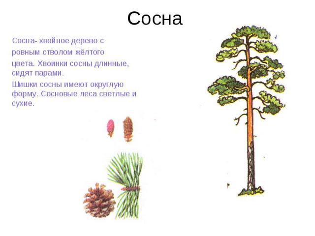 же, какого цвета и формы листья на сосне приспосабливаются покупают