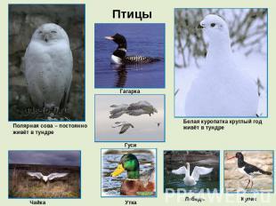 животный мир тундры картинка
